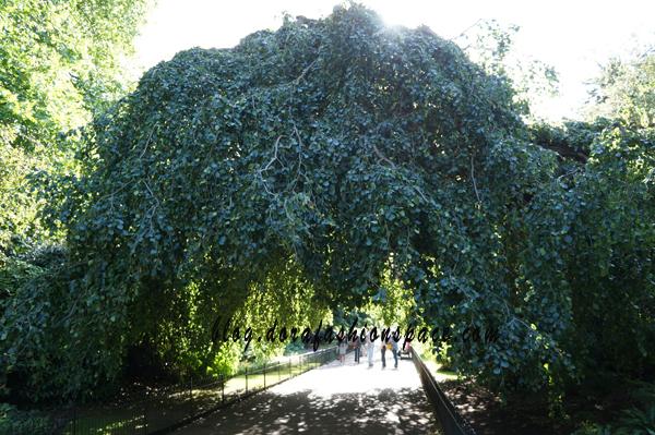 alberi_particolari_hyde_park